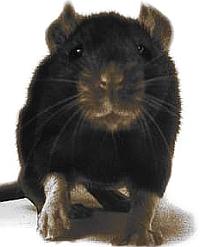 Wass Albert:   Patkányok honfoglalása